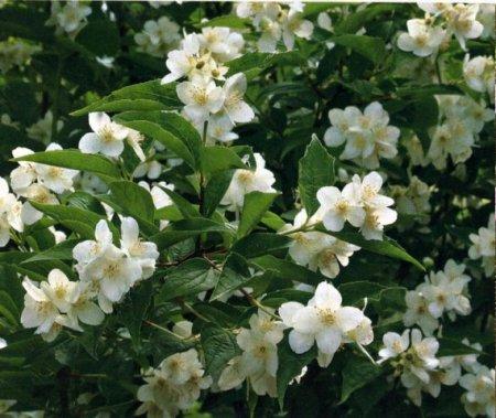 Arbusto con fiori bianchi fiorisce a maggio. Forzia: caratteristiche ...