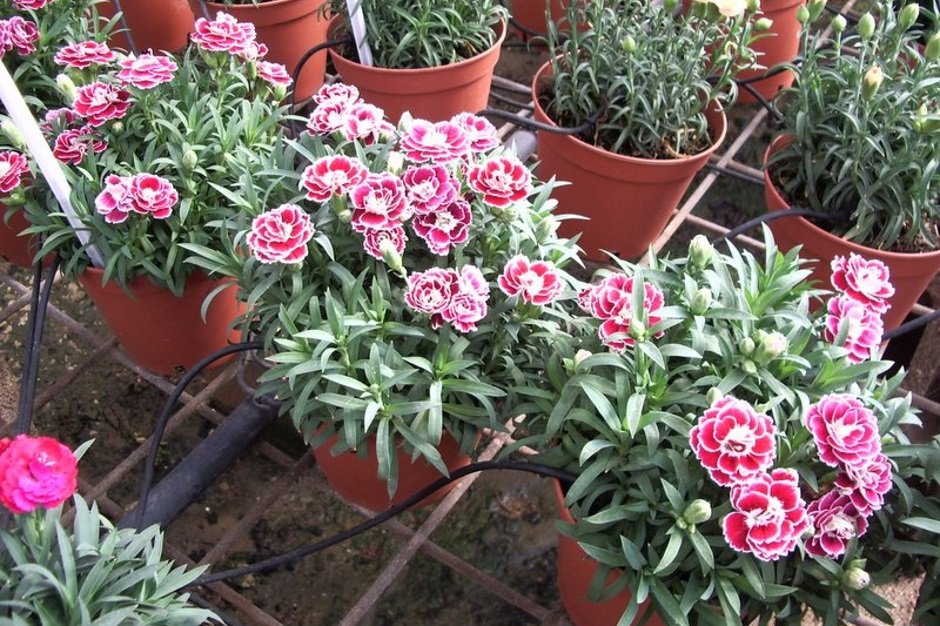 Гвоздика двулетняя выращивание из семян 9