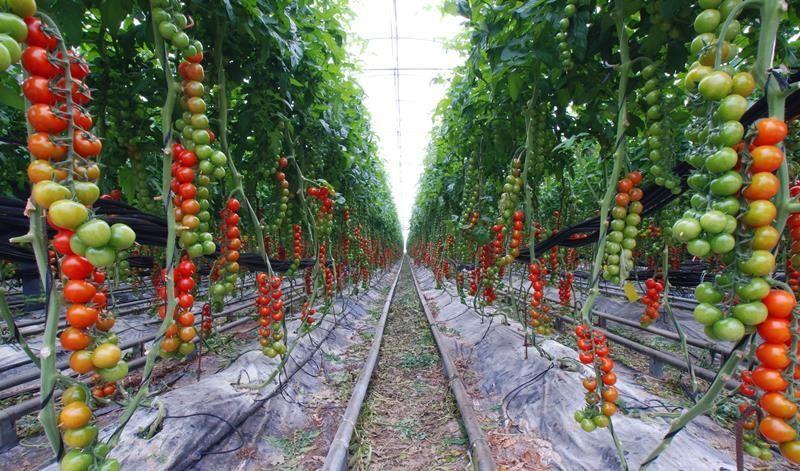 Бизнес план выращивание томатов 92