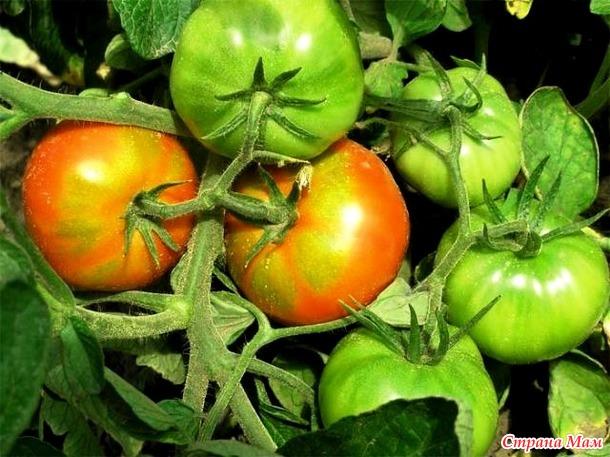 Mengapa tomat memiliki inti putih padat perawatan tomat saran suhu ideal untuk tomat adalah 20 25 derajat sangat penting bahwa suhu malam tidak ada serbuk sari terbentuk pada malam hari lebih rendah dari pada siang ccuart Images